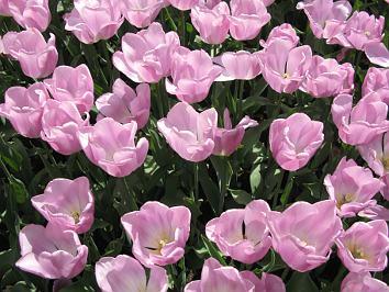 quermania bild bzw foto beet mit rosa tulpen galerie der sch nsten bilder verkauf von. Black Bedroom Furniture Sets. Home Design Ideas